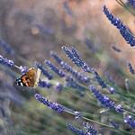 papillon sur lavande by sallyheis - Antibes 06600 Alpes-Maritimes Provence France