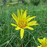 Salsifis des prés par bernard.bonifassi - Coaraze 06390 Alpes-Maritimes Provence France