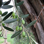 Green Olives par russian_flower - Nice 06000 Alpes-Maritimes Provence France