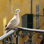 Our frequent visitor by russian_flower - Nice 06000 Alpes-Maritimes Provence France