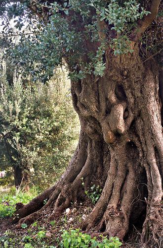 Le vieil olivier par Charlottess