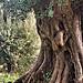 Le vieil olivier par Charlottess - Roquebrune Cap Martin 06190 Alpes-Maritimes Provence France