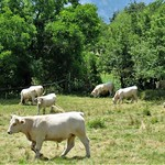 Vaches en pâturage by bernard BONIFASSI - Thiery 06710 Alpes-Maritimes Provence France