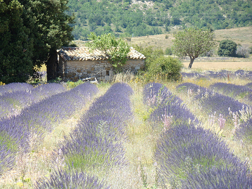 Lavender field in La Haute Provence by UniqueProvence