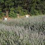 Ruches qui attendent leur lavande by  - Chateauredon 04270 Alpes-de-Haute-Provence Provence France