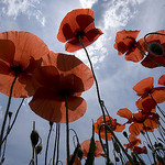 Coquelicots by Thierry B - Dauphin 04300 Alpes-de-Haute-Provence Provence France