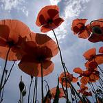 Coquelicots par Thierry B - Dauphin 04300 Alpes-de-Haute-Provence Provence France