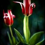 Tulipes rouges et blanches par Michel-Delli - Digne les Bains 04000 Alpes-de-Haute-Provence Provence France