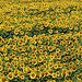 Champ de tournesol tout jaune by Locations Moustiers - Estoublon 04270 Alpes-de-Haute-Provence Provence France