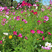 Vive les couleurs - fleurs roses par Qtune - Forcalquier 04300 Alpes-de-Haute-Provence Provence France