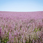 Champ fleuri provençal par Mario Graziano - Greoux les Bains 04800 Alpes-de-Haute-Provence Provence France