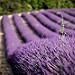 Champs de lavande et sa tige rebelle par Mario Graziano - Greoux les Bains 04800 Alpes-de-Haute-Provence Provence France