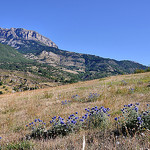 Chardons en altitude - Hautes-Duyes par Charlottess - Hautes Duyes 04380 Alpes-de-Haute-Provence Provence France