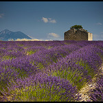 Plateau de Valensole by  - La Begude 83330 Alpes-de-Haute-Provence Provence France