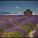 Plateau de Valensole par Michel-Delli - La Begude 83330 Alpes-de-Haute-Provence Provence France