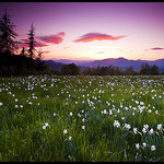 Champ de narcisses au crpuscule by  - Les Dourbes 04000 Alpes-de-Haute-Provence Provence France