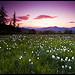 Champ de narcisses au crépuscule par Michel-Delli - Les Dourbes 04000 Alpes-de-Haute-Provence Provence France