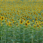 Sunflowers troups / Régiment de tournesols par Michel Seguret - Lurs 04700 Alpes-de-Haute-Provence Provence France