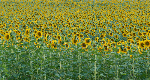 Sunflowers troups / Régiment de tournesols par Michel Seguret