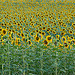 Sunflowers troups / Régiment de tournesols by Michel Seguret - Lurs 04700 Alpes-de-Haute-Provence Provence France
