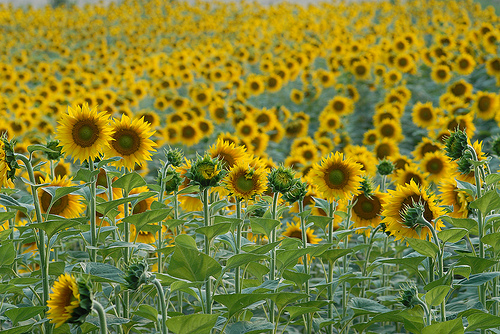 Tournesols par Michel Seguret