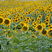 Tournesols by Michel Seguret - Lurs 04700 Alpes-de-Haute-Provence Provence France