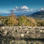 Moutons de Mallefougasse par Patrick RAYMOND - Mallefougasse Augès 04230 Alpes-de-Haute-Provence Provence France