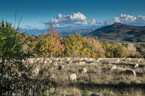 Moutons de Mallefougasse by Patrick RAYMOND