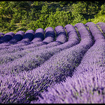 Perspective de lavandes par  - Mallemoisson 04510 Alpes-de-Haute-Provence Provence France