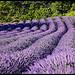 Perspective de lavandes par Michel-Delli - Mallemoisson 04510 Alpes-de-Haute-Provence Provence France
