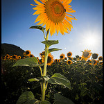 Tournesol by  - Mallemoisson 04510 Alpes-de-Haute-Provence Provence France