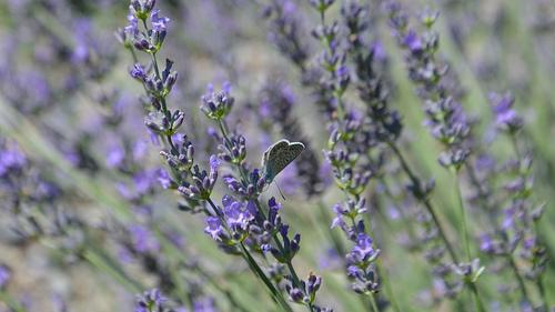 Le papillon provençal amateur de lavande par Amélia A. Photographies