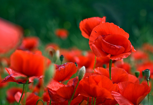 Coquelicots  by sallyheis