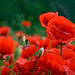 Coquelicots  by Rhansenne.photos - Manosque 04100 Alpes-de-Haute-Provence Provence France