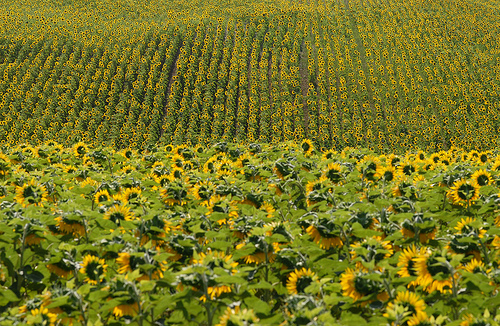 Tournesols en Haute-Provence by Michel Seguret (+ 3.300.000 views)