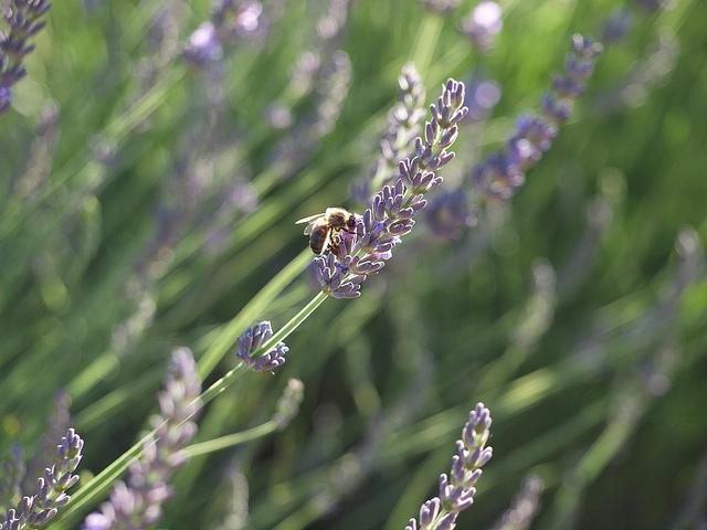 Lavande butinée par une abeille (Alpes-de-Haute-Provence - Mezel) by Locations Moustiers
