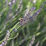 Lavande butinée par une abeille by  - Mezel 04270 Alpes-de-Haute-Provence Provence France