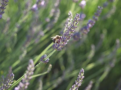 Lavande butinée par une abeille par Locations Moustiers