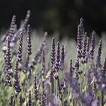 rêve de Lavande by  - Mezel 04270 Alpes-de-Haute-Provence Provence France