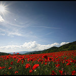 Baignade dans un champs de Coquelicots by  - Mirabeau 84120 Alpes-de-Haute-Provence Provence France