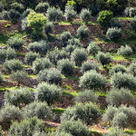 Olive trees field staircase by  - Moustiers Ste. Marie 04360 Alpes-de-Haute-Provence Provence France
