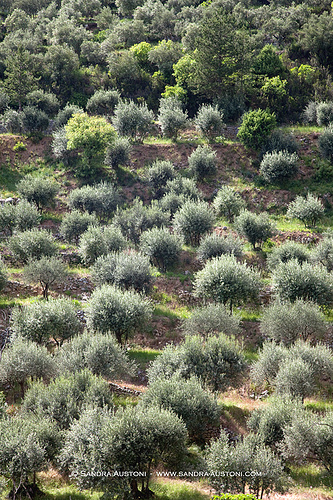 Olive trees field staircase par Belles Images by Sandra A.