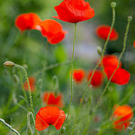 Coquelicots (Red poppies) by Belles Images by Sandra A. - Moustiers Ste. Marie 04360 Alpes-de-Haute-Provence Provence France