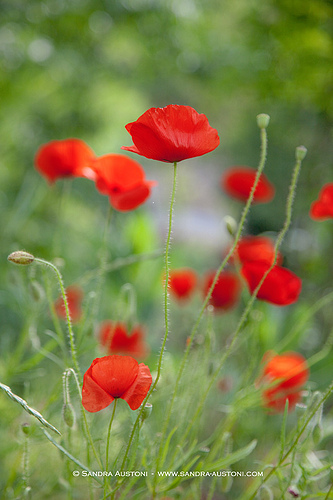 Coquelicots (Red poppies) par Belles Images by Sandra A.