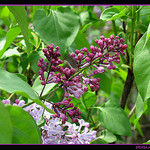 Lilas violet par Sylvia Andreu - Moustiers Ste. Marie 04360 Alpes-de-Haute-Provence Provence France