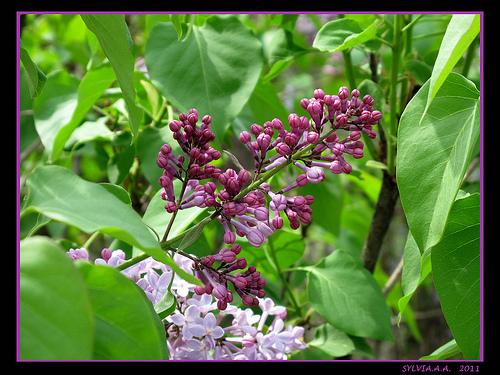 Lilas violet by Sylvia Andreu