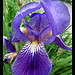 IRIS en mode Macro by Belles Images by Sandra A. - Moustiers Ste. Marie 04360 Alpes-de-Haute-Provence Provence France