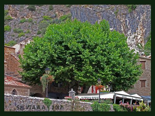PLATANE, l'autre symbole de la Provence par Sylvia Andreu