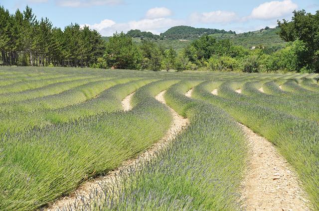 Les vagues vertes de lavandes (Alpes-de-Haute-Provence - Oppedette) par Leo Ad
