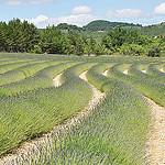 Les vagues vertes de lavandes par Leo Ad - Oppedette 04110 Alpes-de-Haute-Provence Provence France